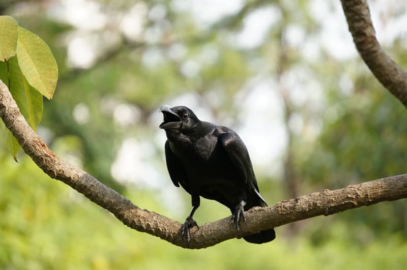 animals Story: unbelievable facts crows crow facts facts about birds