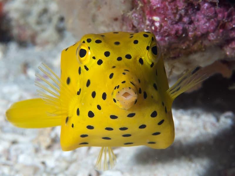 Nature Story: #1 Yellow boxfish