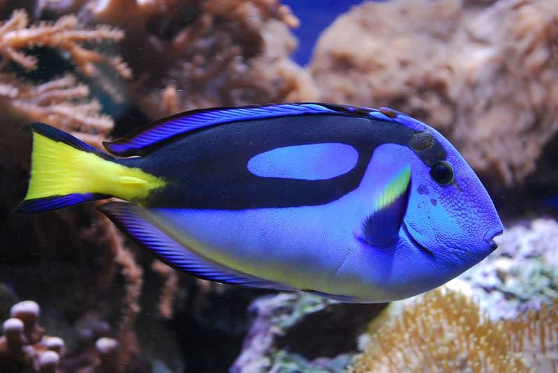 Nature Story: #10 Blue tang