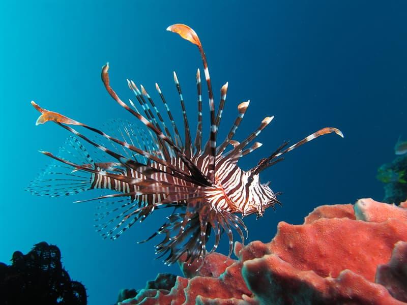 Nature Story: #2 Lionfish