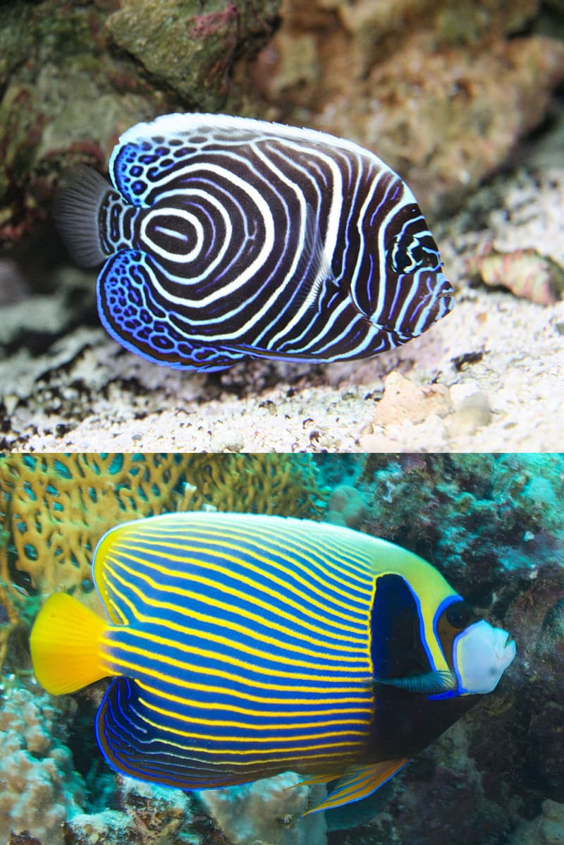Nature Story: #5 Emperor angelfish