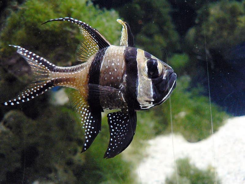 Nature Story: #6 Banggai cardinalfish