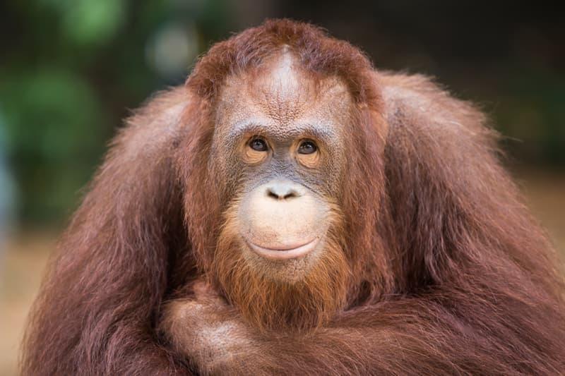 Nature Story: #7  Super Smart Orangutang