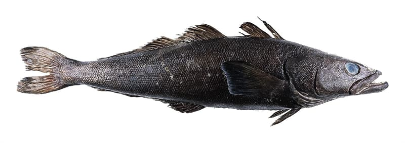 Science Story: #2 Chilean sea bass