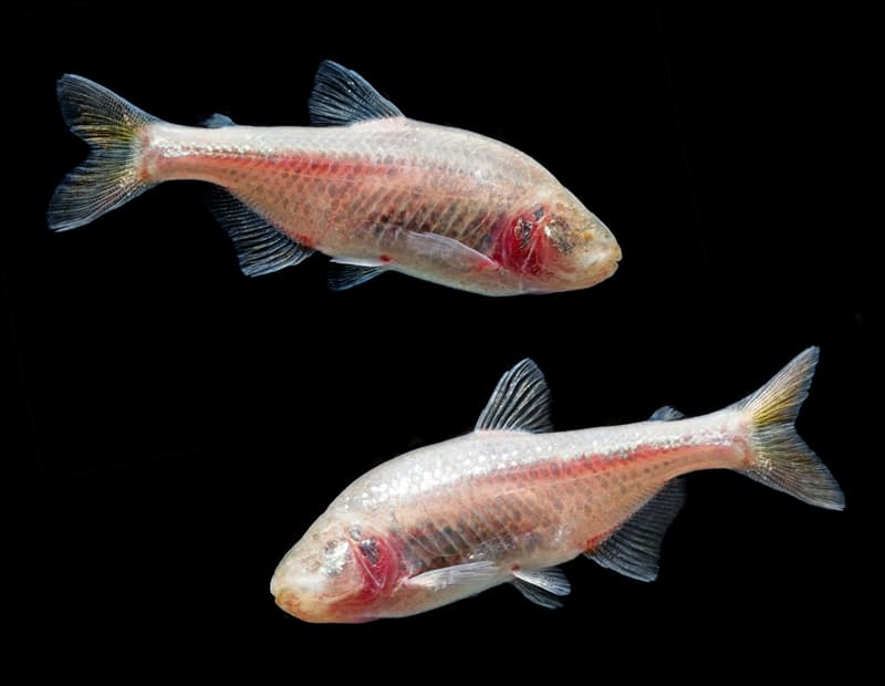 Nature Story: animals without eyes see without eyes Mexican Tetra