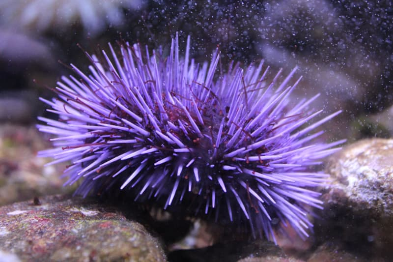Nature Story: animals without eyes see without eyes Sea Urchin blind animals