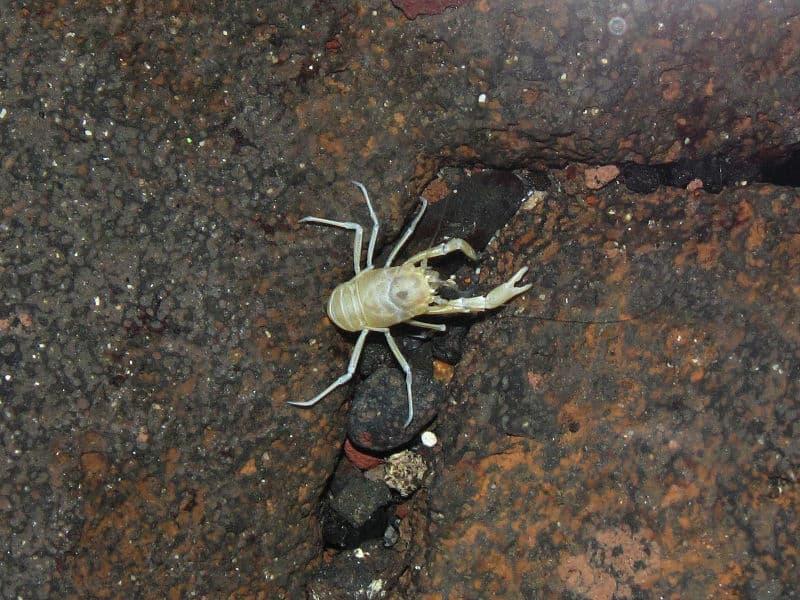 Nature Story: animals without eyes Blind Albino Crab see without eyes blind animals
