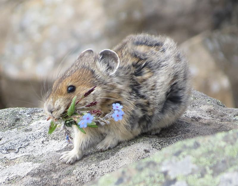 Nature Story: #5 Pikas live in places with cold temperatures