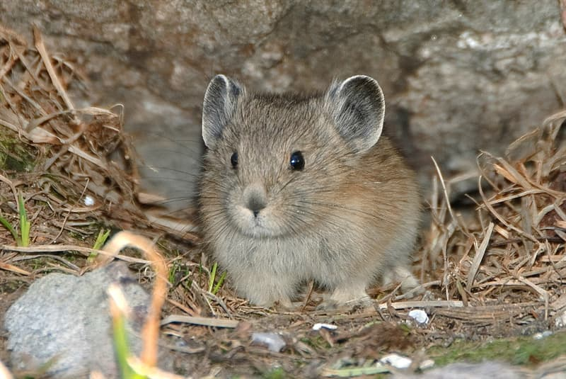 Nature Story: #6 Some pikas live in family groups, while others are solitary animals