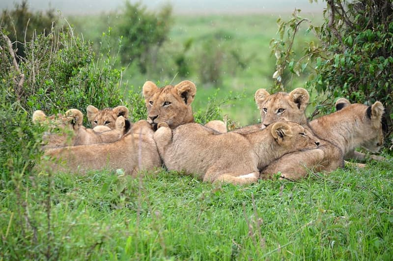 Nature Story: #2 Lions