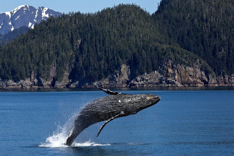 Nature Story: #4 Humpback whales