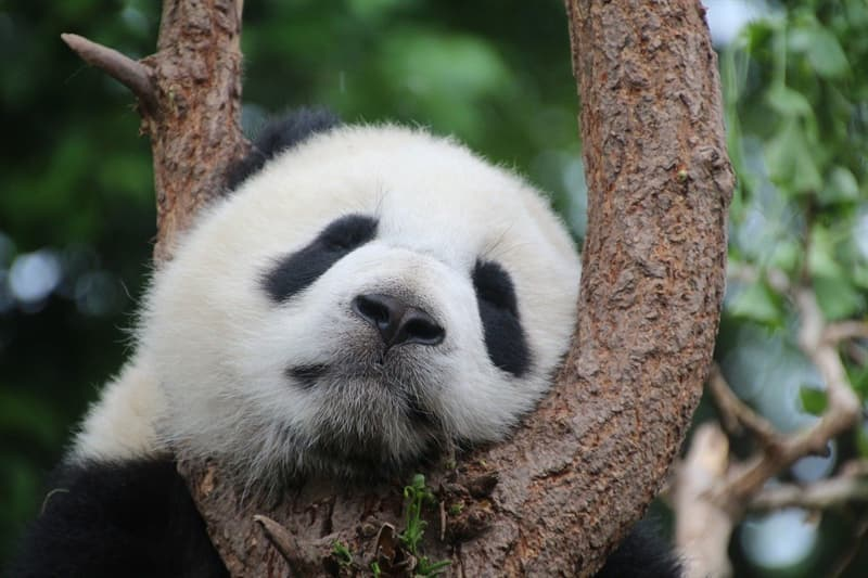 Geography Story: #7 Unless you're Chinese, the panda at your local zoo is just paying a visit.