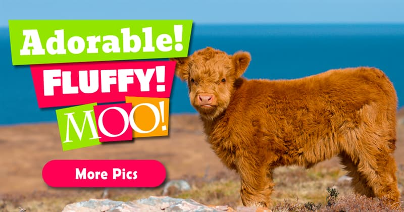 Nature Story: 7 pics of cute Highland cattle calves will warm your heart