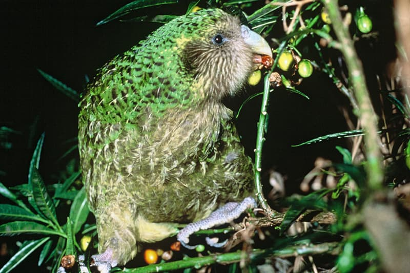 Nature Story: #1 Kakapo are flightless parrots