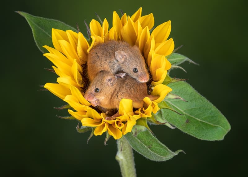 Culture Story: #13 Harvest mice in the middle of this sunflower looks so adorable