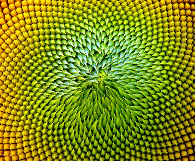 Culture Story: #4 Another beautiful sunflower pattern taken up close