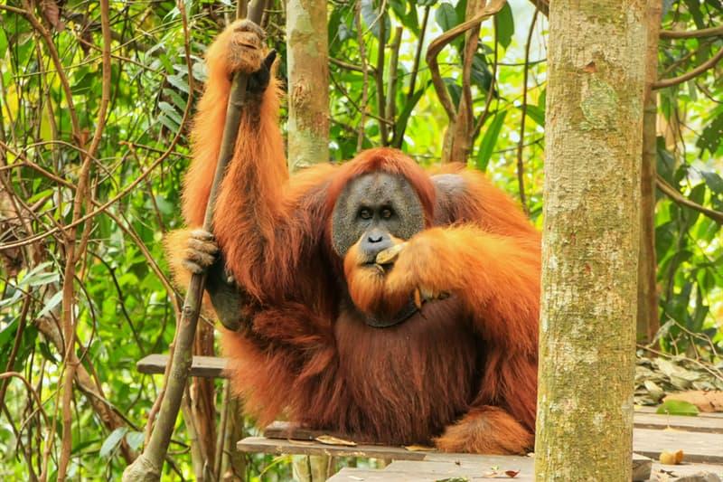 Nature Story: #1 The Sumatran Orangutan
