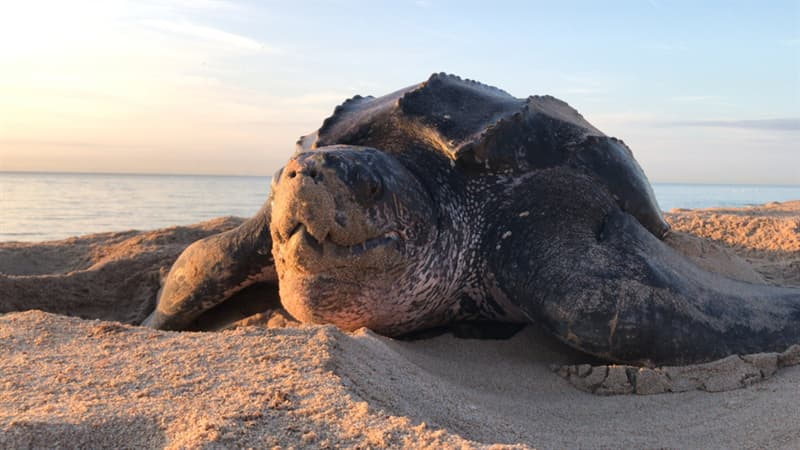 Nature Story: #10 The Leatherback Turtle