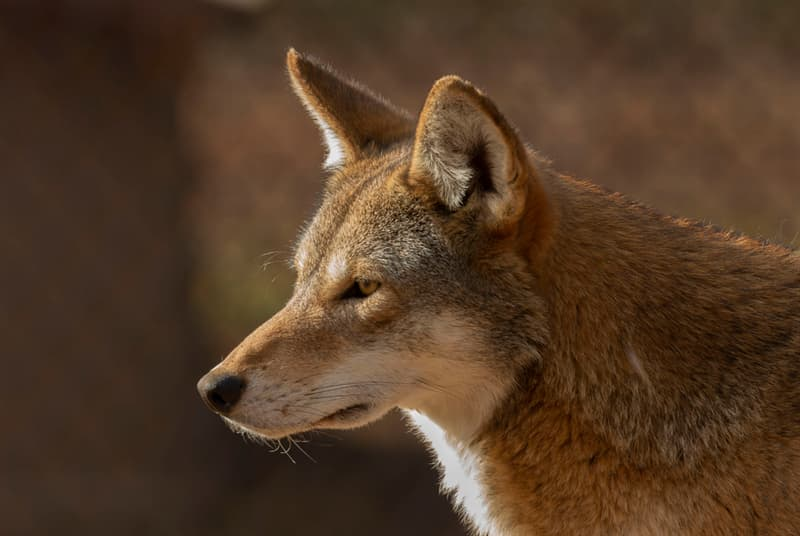 Nature Story: #3 The Red Wolf