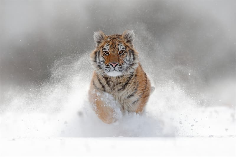 Nature Story: #4 The Siberian Tiger