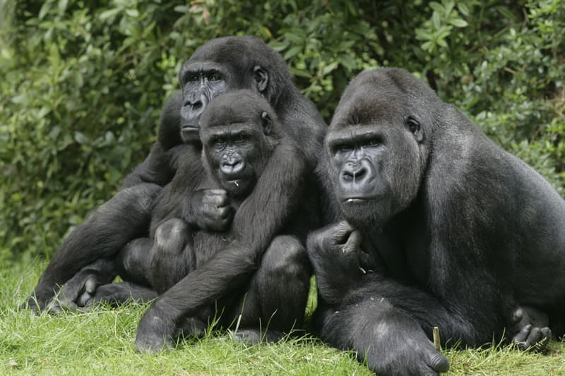 Nature Story: #7 The Western Gorilla