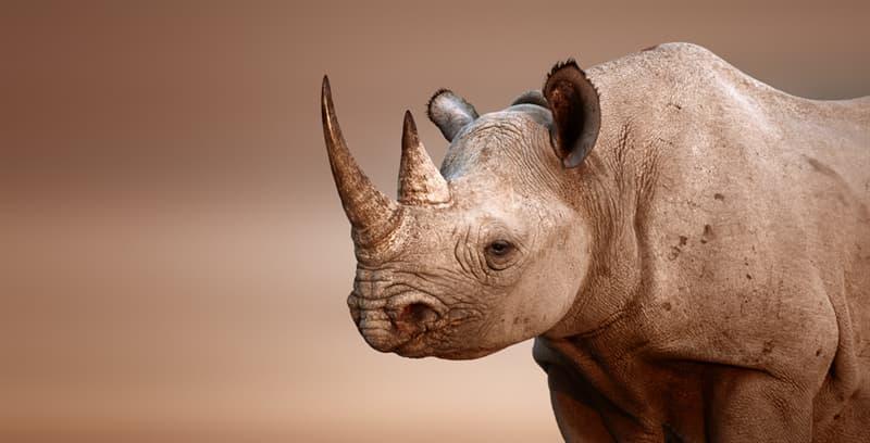 Nature Story: #8 Black Rhino