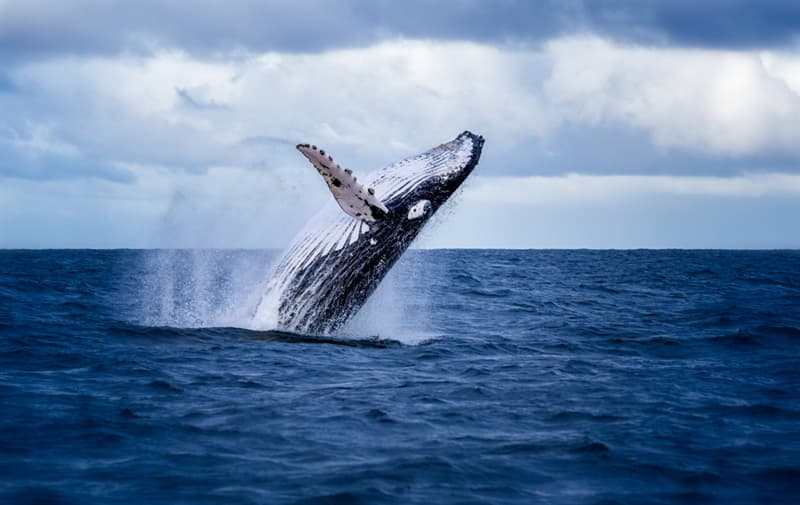 Nature Story: #9 The Humpback Whale