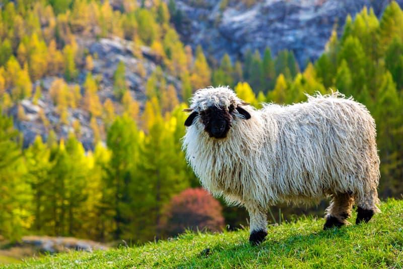 Nature Story: #1 The Valais Blacknose sheep