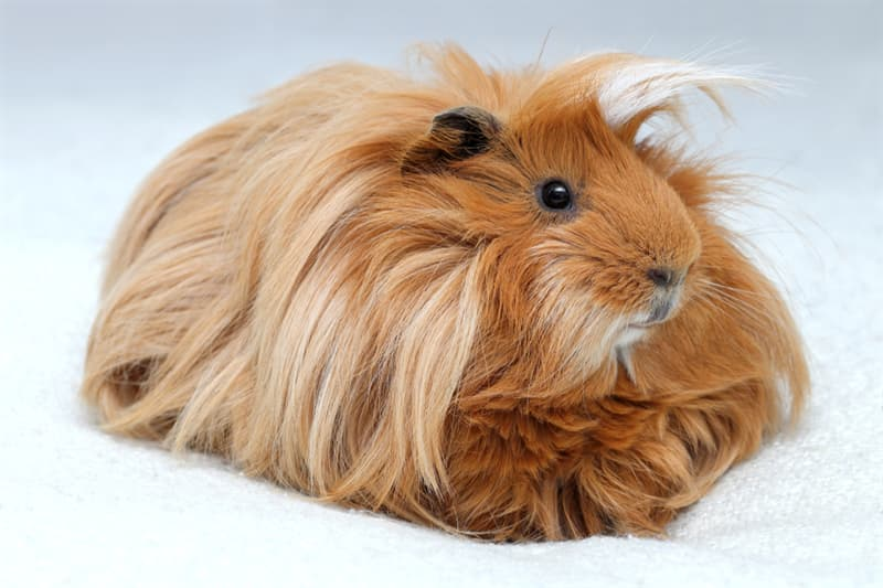 Nature Story: #3 The long haired guinea pigs