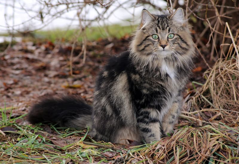 Nature Story: #4 The Norwegian Forest cat