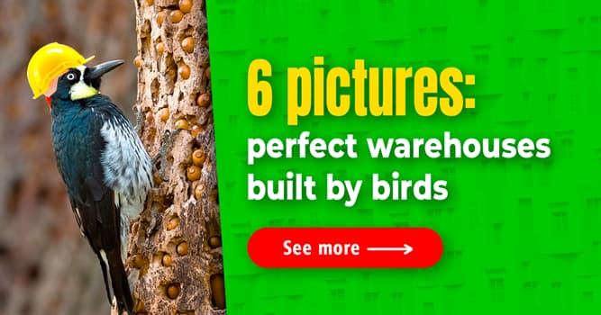 Nature Story: Woodpeckers build the most elaborate acorn granaries – you can't miss it!