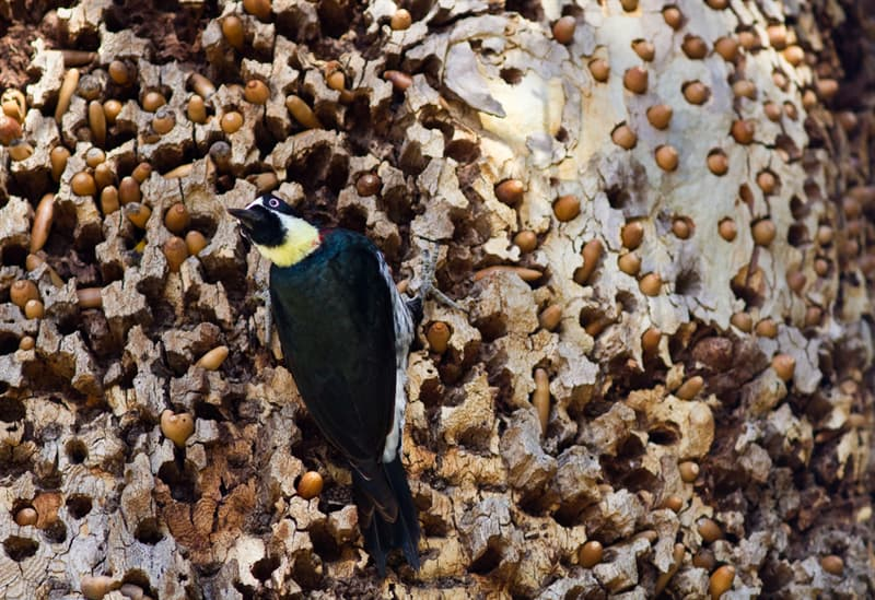 Nature Story: #6 This bird has LOOOOTS of acorns, all carefully stored