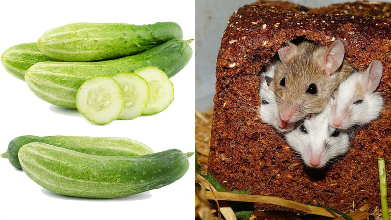 Science Story: #2 Cucumbers against mice