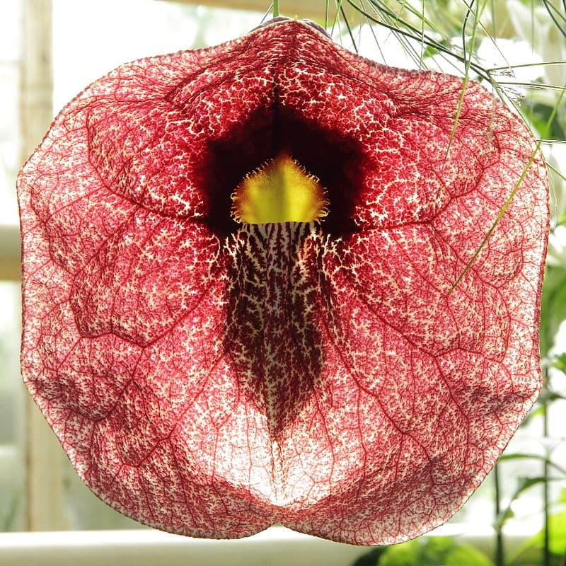 Nature Story: #1 The enchanting Aristolocia Gigantea flower