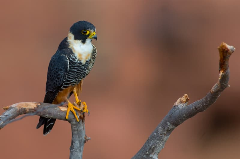 Nature Story: #1 Bat falcon