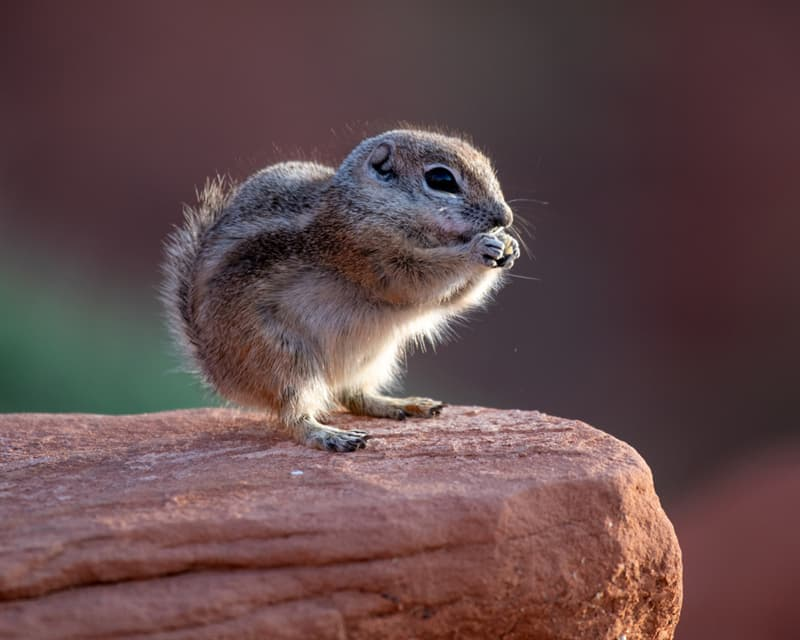 Nature Story: #4 Antelope squirrel