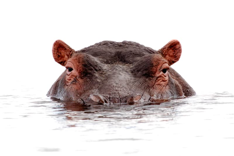 Nature Story: #1 Hippos can't swim