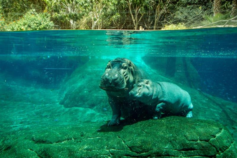 Nature Story: #2 Hippo calves suckle underwater