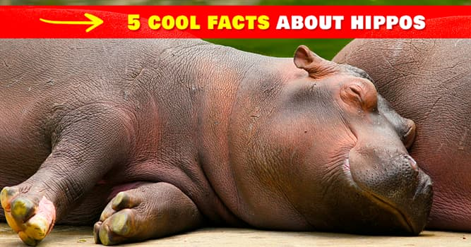 Nature Story: 5 fun hippo facts