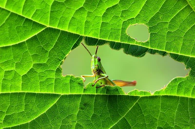 Geography Story: #5 Despite their name, grasshoppers actually predate grass