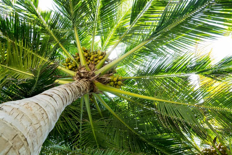 Nature Story: #5 A single tree can yield as many as 180 coconuts in one single harvest