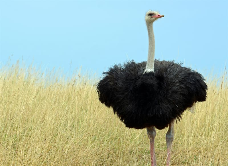 Nature Story: #1 It's the world's largest bird