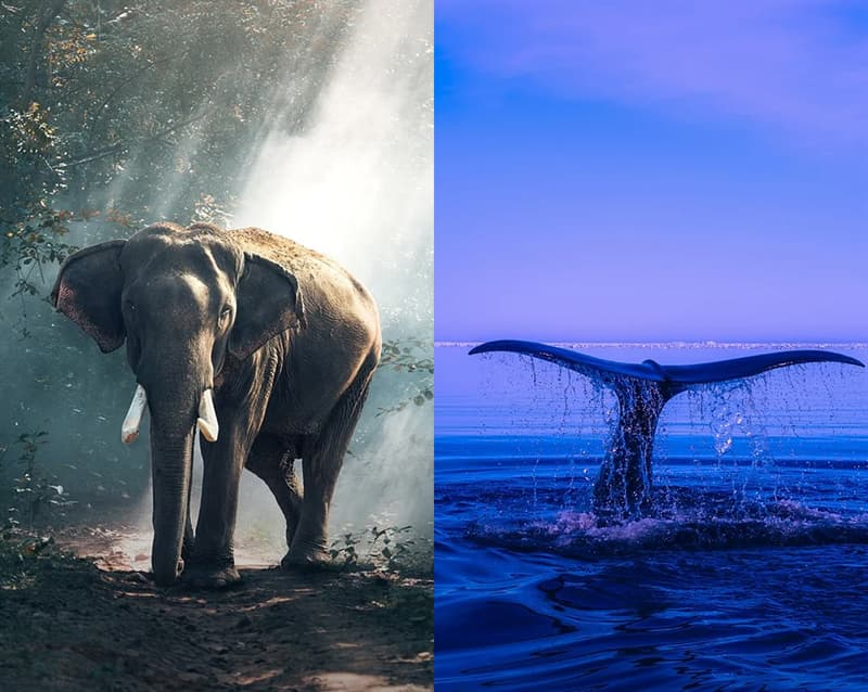 Science Story: #1 LARGE ANIMALS: as big as elephants look, they just weigh as much as a blue whale's tongue.