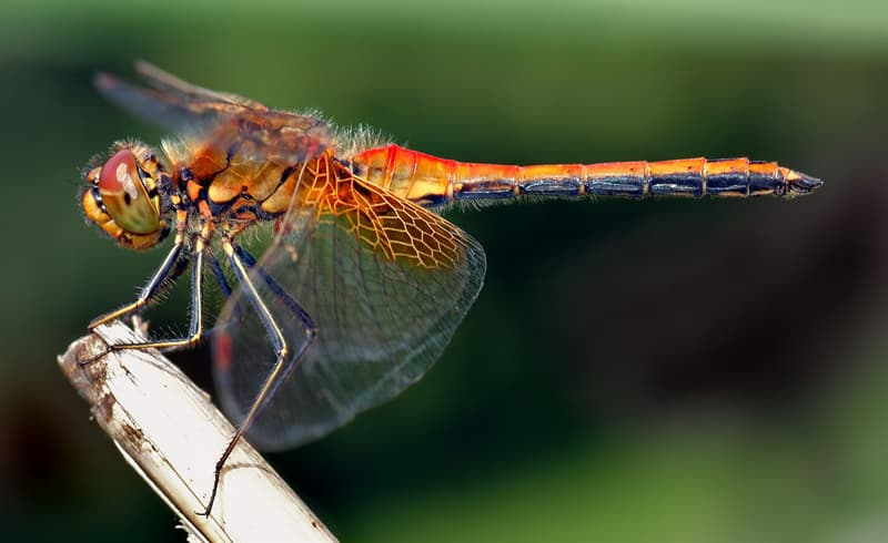 Nature Story: #2 Dragonflies cannot walk, they only use their legs for perching and grabbing and as landing gear