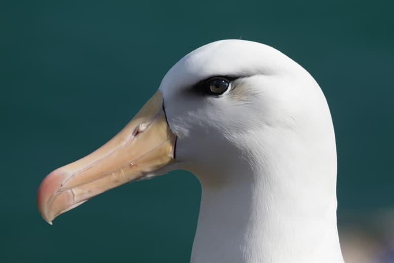 Nature Story: #2 Albatrosses do live a long life