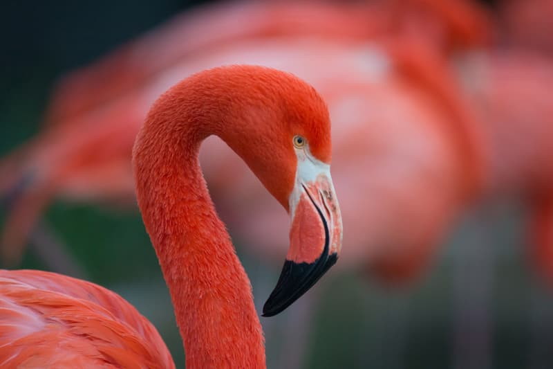 Culture Story: #1 Flamingo tongues as a delicacy
