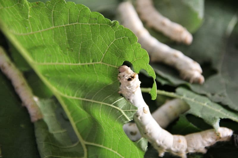 Culture Story: #3 A SILKWORM is not really a WORM!