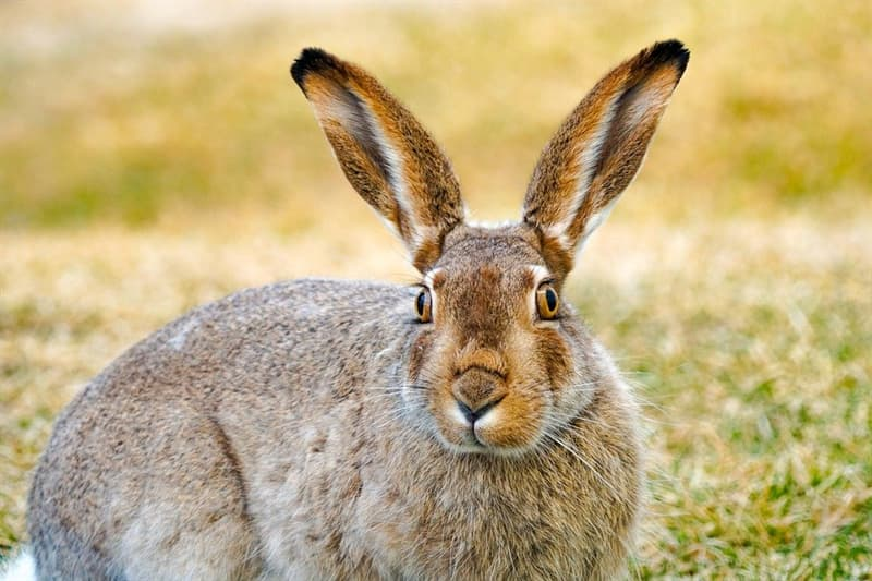 Culture Story: #6 Do you know that a JACKRABBIT is not a RABBIT?