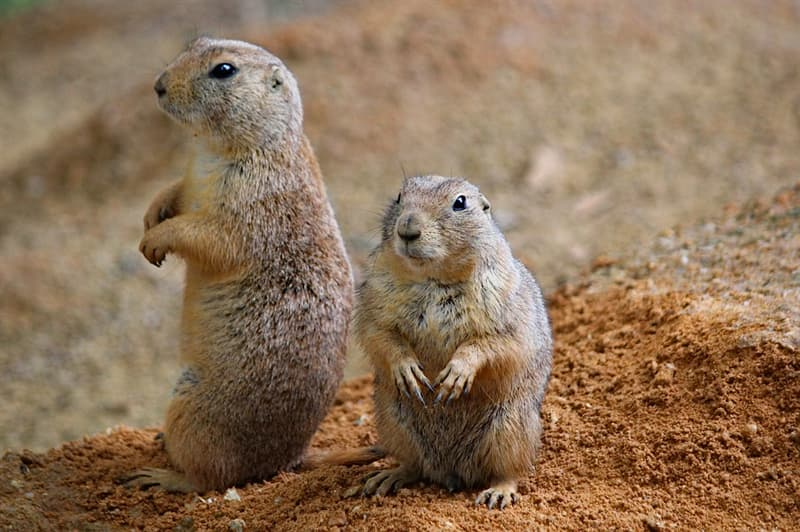 Culture Story: #7 A PRAIRIE DOG is a rodent found mostly in North America