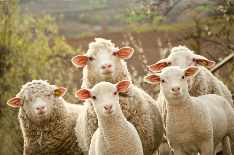 Nature Story: #2 Even in pictures, sheep can recognize the faces of people